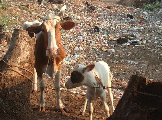 9b cow and calf in garbage