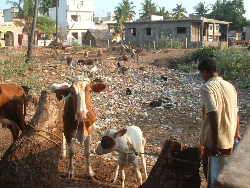 9b cow and calf in garbage (1)