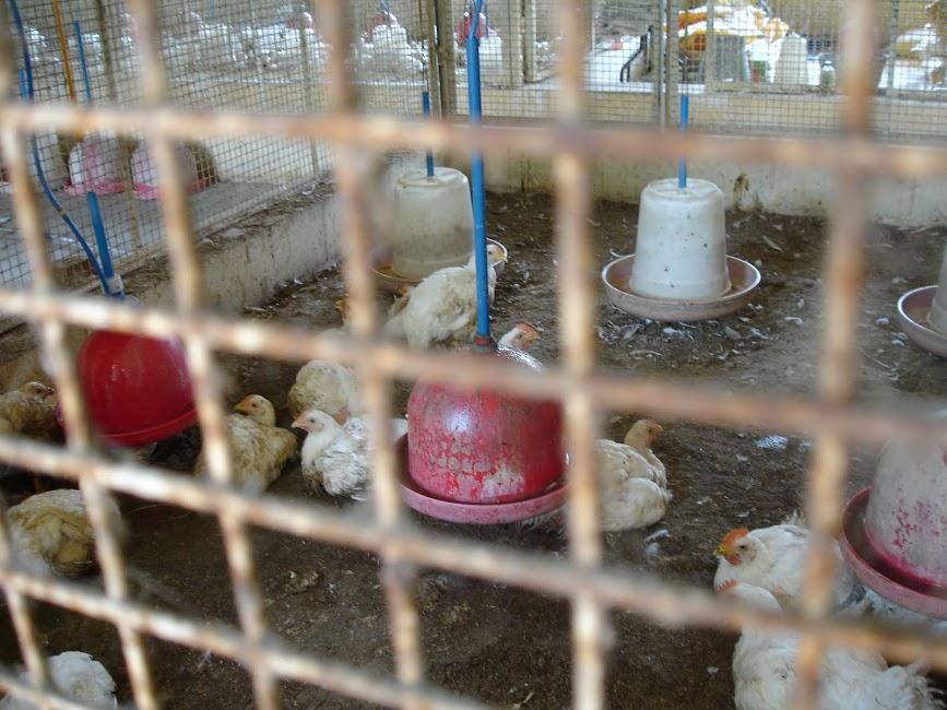 Chickens (1)